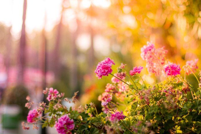 Lyserøde blomster i en have